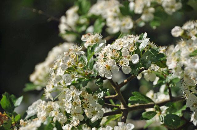 blomma buske